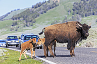 USA, Yellowstone National Park, Bisons crossing road - FO008029