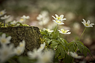 Germany, wood anemones growing in a forest - ASC000113