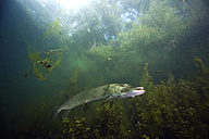 Germany, Bavaria, Northern Pike in a lake - ZC000217