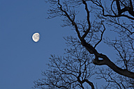 Decreasing full moon with branch of oak tree in the foreground - UM000768