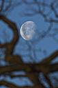 Decreasing full moon with branch of oak tree in the foreground - UM000769