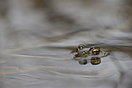 Common toad, Bufo bufo, in water - MJOF000970