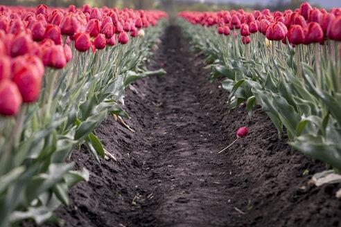 Germany, Magdeburg Boerde, passageway in a red tulip field - ASCF000121