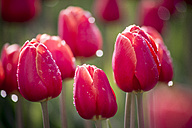 Wet red tulips - ASCF000123