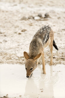 Namibia, Etosha National Park, Jakal, canis adustus, drinking at waterhole - CLPF000115