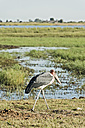 Botswana, Chobe National Park, Marabou at Chobe River - CLPF000128