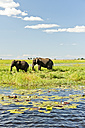 Botswana, Chobe National Park, African elephants at Chobe River - CLPF000134