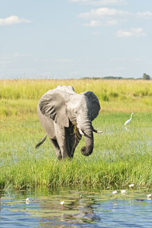 Botswana, Chobe National Park, African elephant at Chobe River - CLPF000135