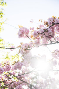 Germany, Duesseldorf, Japanese cherry blossoms - CHPF000140