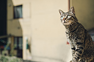 Tabby cat watching something - RAEF000160
