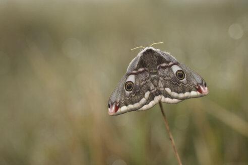 Emperor Moth, Saturnia pavonia, female - MJOF000971