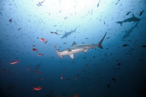 Costa Rica, Scalloped hammerhead shark, Sphyrna lewini - ZC000220