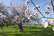 Austria, Kittsee, blossoming apricot trees on a meadow - SIEF006570