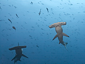 Costa Rica, Cocos Island, two scalloped hammerheads - ZC000225