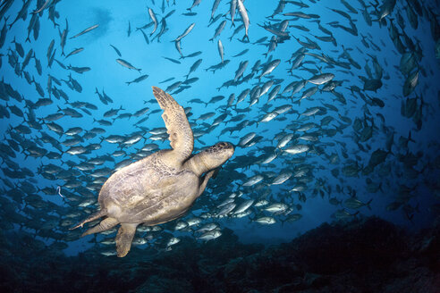 Costa Rica, Cocos Island, Green Sea Turtle swimming in between school of bigeye trevallies - ZCF000224