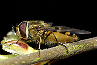 Hoverfly - MJOF000979