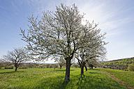 Austria, Burgenland, Rohrbach, cherry blossom - SIEF006566