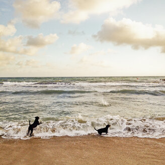 Two dogs are playing at the beach with waves, Palma, Majorca - MSF004555