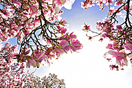 Germany, Aschaffenburg, blooming Magnolia trees - FDF000091