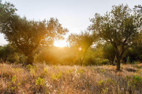 Greece, Corfu, olive orchard at sunset - EGBF000064