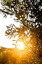 Greece, Corfu, olive tree in backlight - EGBF000065