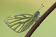 Green-veined White on a twig - MJOF000985