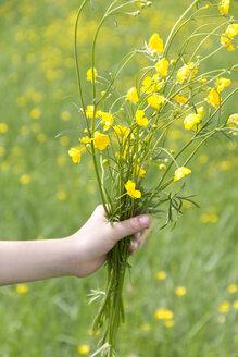 Little girl's hand holding bunch of buttercups - YFF000431