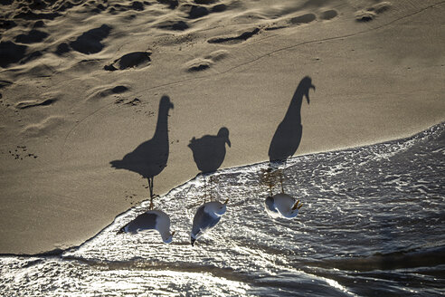 Germany, Baltic Sea, seagulls on a beach at sunrise - ASCF000170