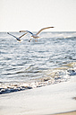 Germany, Baltic Sea, seagulls in the hunt - ASCF000177
