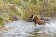 USA, Wyoming, Horses running through water blurred motion - RUEF001604