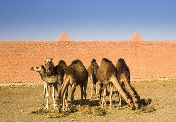 Morocco, Guelmim, camel market - FCF000663