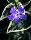 Blossom of a common mallow - MGOF000236