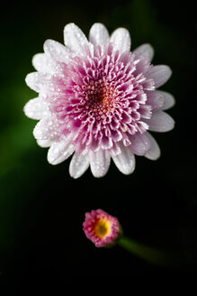 Blossom of a common zinnia - MGOF000220