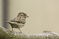 Young sparrow on a branch - MELF000058