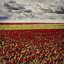 Germany, Juechen, tulip fields - DWI000510