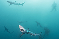 South Africa, Blue sharks, Prionace glauca, and divers - GNF001327