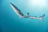 South Africa, Blue shark, Prionace glauca - GNF001329