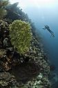Indonesia, Bali, female diver and sea fans, Annella reticulata - ZC000246