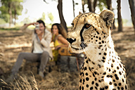 South Africa, portrait of a cheetah in front of two people photographing - TOYF000968