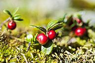 Austria, Altenmarkt-Zauchensee, lingonberries - HHF005331