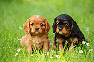 Two Cavalier King Charles Spaniel puppies sitting on a meadow - HTF000726