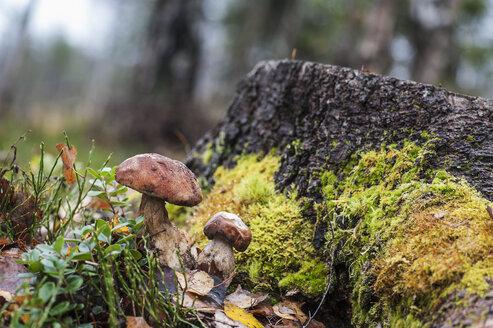 Austria, Altenmarkt-Zauchensee, boletuses in a forest - HHF005339