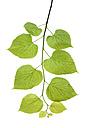 Lime tree leaves - RUEF001618