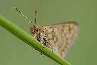 Marsh Fritillary on blade of grass - MJOF000998