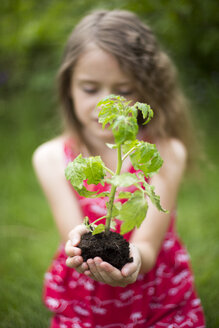 Little girl holding tomato plant in her cupped hands - SARF001830