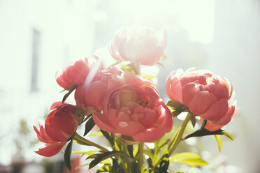 Close up of peonies - MFF001657