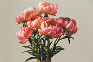 Close up of peonies - MFF001659