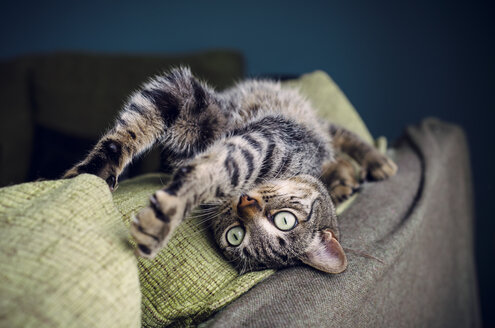 Tabby cat stretching on backrest of a couch - RAEF000199