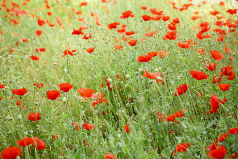 Greece, Crete, Poppy field - STDF000174