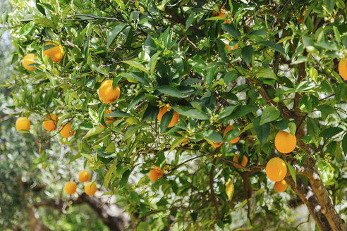 Greece, Crete, Orange tree - STDF000181